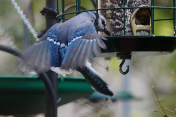 """WHERE THERE'S A WILL"" I featured this image of a lone blue jay at my modified feeder) on Cornell's FB Page."
