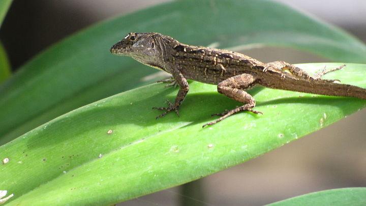 Lizard - full time bug hunter