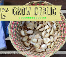 grow garlic in a container, container gardening, gardening, Growing garlic in a container is as easy as it gets