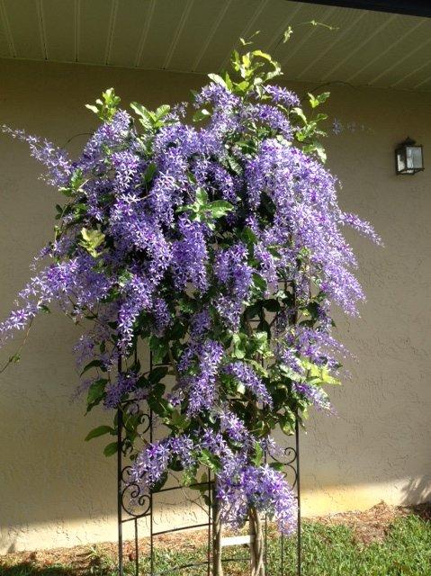 my beautiful queens lace vine, gardening