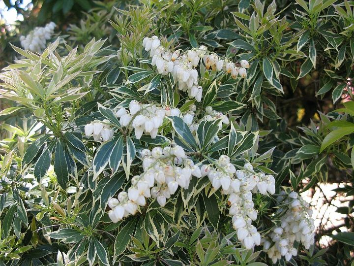 Pieris also known as Temple Bells