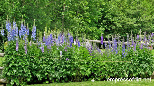http://www.empressofdirt.net/delphiniums/ String protection from winds.