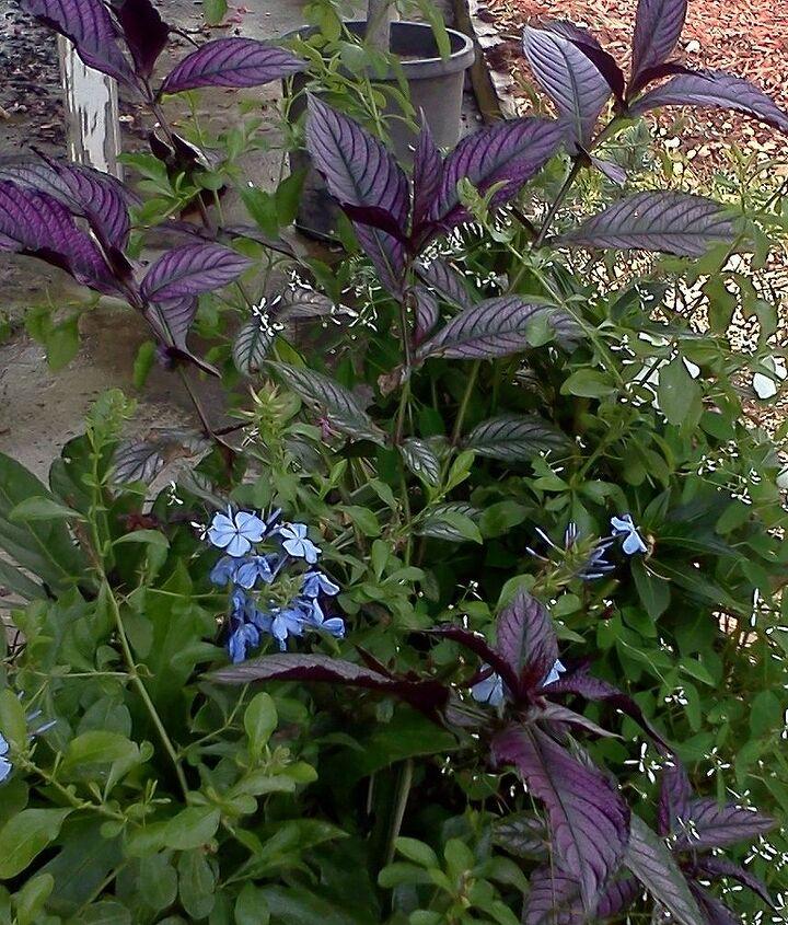 Strobilanthus(purply leaf) and Euphorbia  (white flowers)