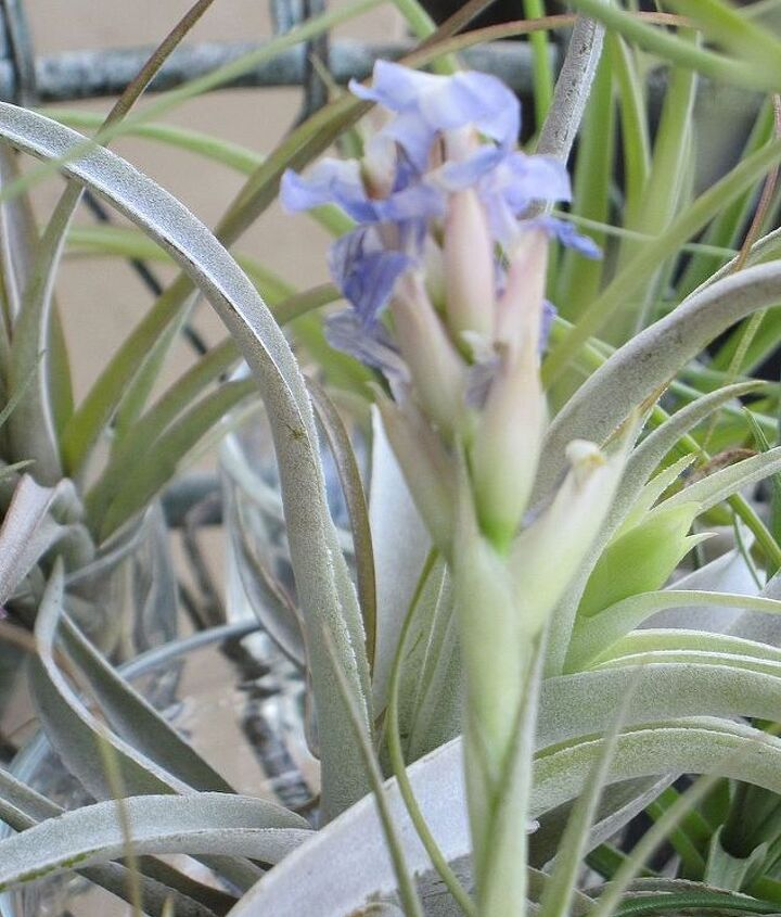 falling in love with tillandsia, gardening