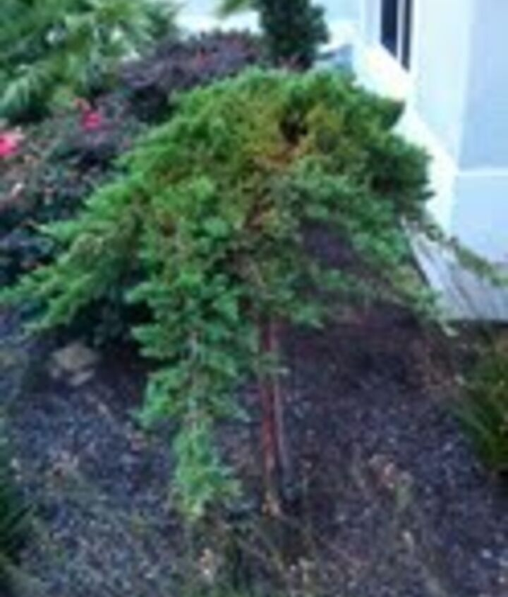 Juniper Topiary showing brown area in top center going down and through the depth of the plant.