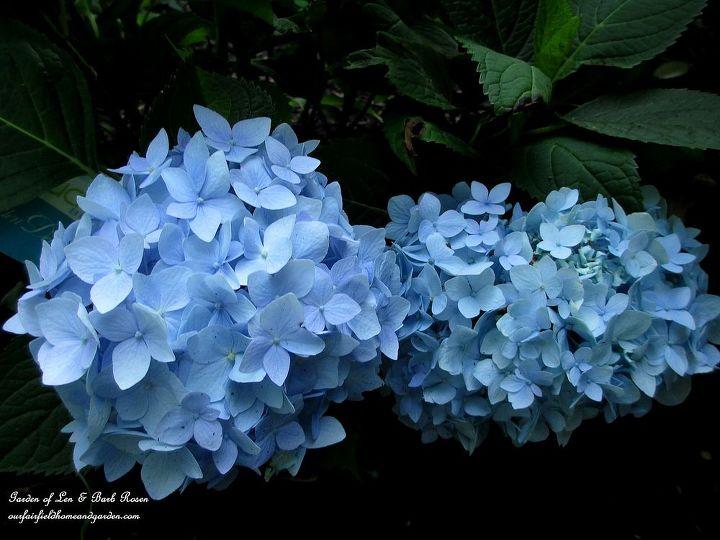 "hydrangea macrophylla ""Nantucket Blue"""