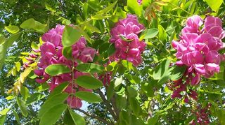identity crisis, flowers, gardening, Purple Locust