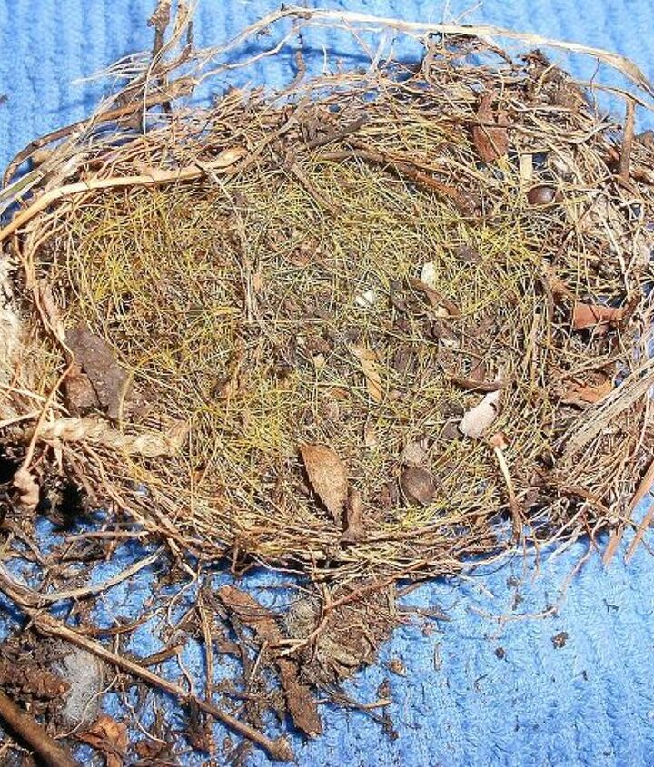 Nest was found in sweet autumn clematis vine.