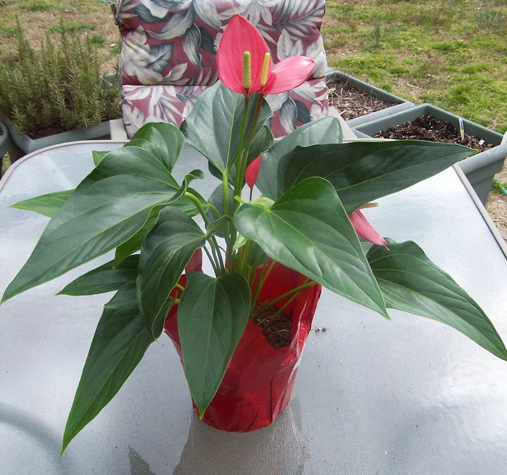 anthurium finally a flowering indoor plant that loves low light flowers gardening