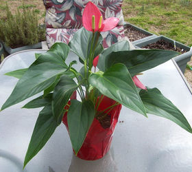 Anthurium Finally A Flowering Indoor Plant That Loves Low Light, Flowers,  Gardening