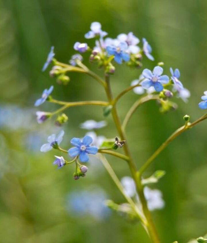 Forget-me-not-like flowers of Brunnera 'Jack Frost'