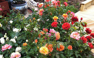 celebrate national rose month are you in or out, flowers, gardening, Spring Rose Garden in Bloom
