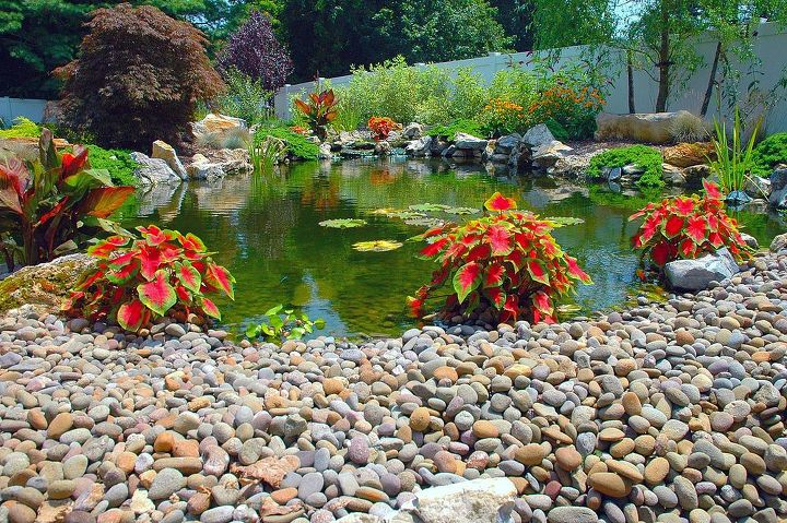 This is Caladium, it does well in water. This pond project won an International award from the Association of Pool and Spa Professionals (APSP) Silver medal for waterfeatures. www.deckandpatio.com