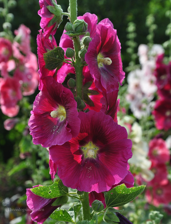 Hollyhocks a biennial plant that reseeds itself after it flowers and then blooms the following summer. (Full sun)