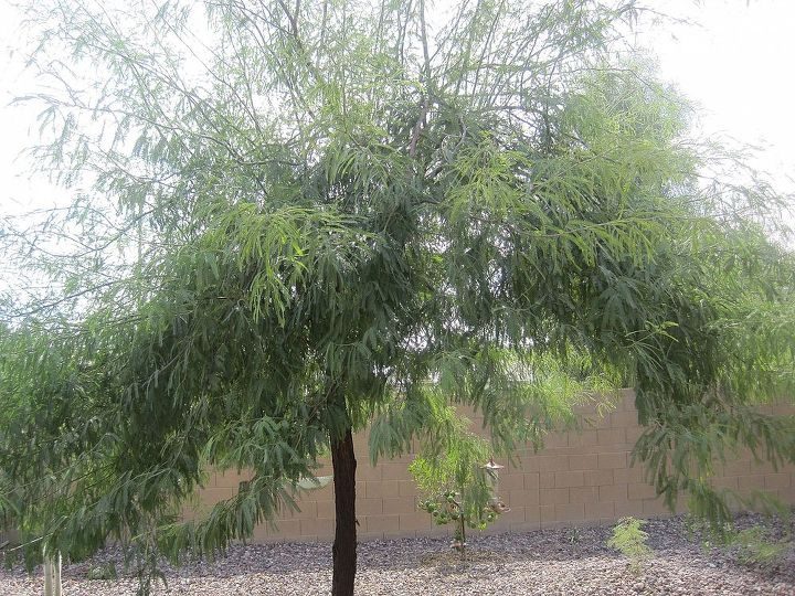 i need id on three trees in our backyard in az, flowers, gardening, This is a fine leafed tree It has a shaggy bark