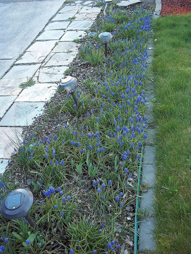 The bed that parallels the driveway is full of grape hyacinths the other hyacinths are coming up as well as all the other flower bulbs. The iris and gladiolis didn't completely die back so they are starting to green up as well.