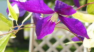 clematis will it live or will it not, container gardening, flowers, gardening, and then a week later More blooms