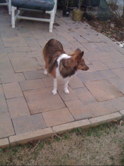 My Sheltie Prissy modeling my completed patio.  After the two foot area was completed I dug an area around the edge and filled it with a fairly wet concrete mixture.  I then submerged trim stones to help hold the patio stones in place.