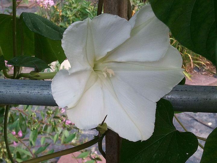 Moon vine flower