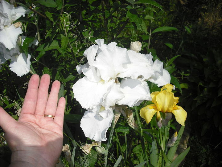 I just loved this iris this year, look at the size of it next to the yellow one, that is only one white iris, I put my hand next to it so the size could b seen