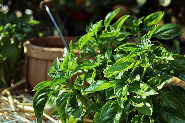 Harvest your basil at the peak of freshness before the flowers begin to bud. This way the most potent oils and flavor remains concentrated in the leaves.