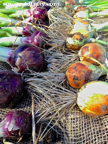 the beauty of fall, gardening, Curing onions