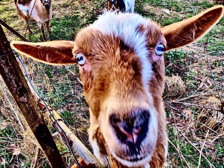 let the goat rope begin, green living, homesteading, wildlife animals