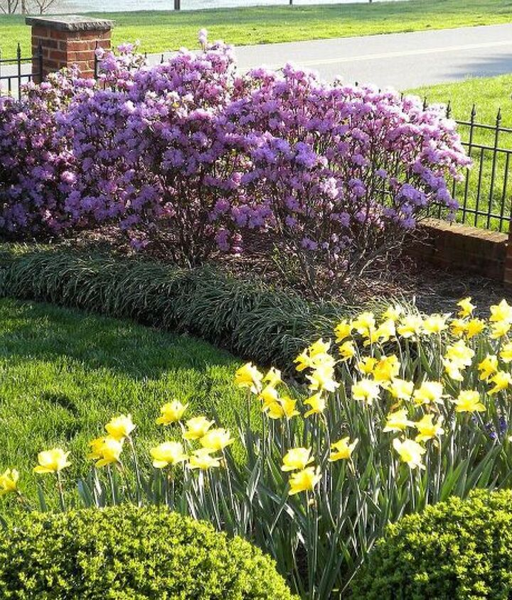 PJM Rhododendrons, Daffodils (late March-April)