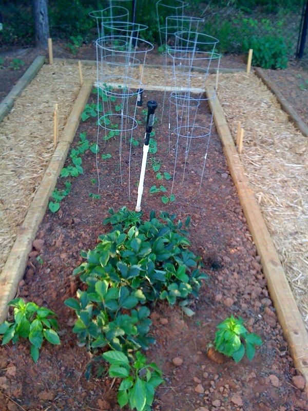 The Pole Beans have started coming up in back,  I used seeds.  Strawberry plants and Banana Pepper plants up front.