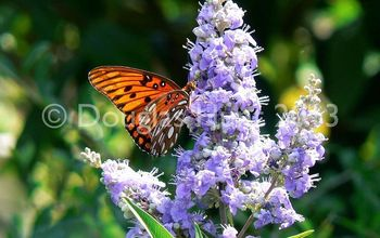 butterfly plants in action, gardening, outdoor living, A gulf fritllary butterfly Agraulis vanillae sipping nectar from a chaste tree Vitex agnus castus a great plant for attracting bees and butterflies