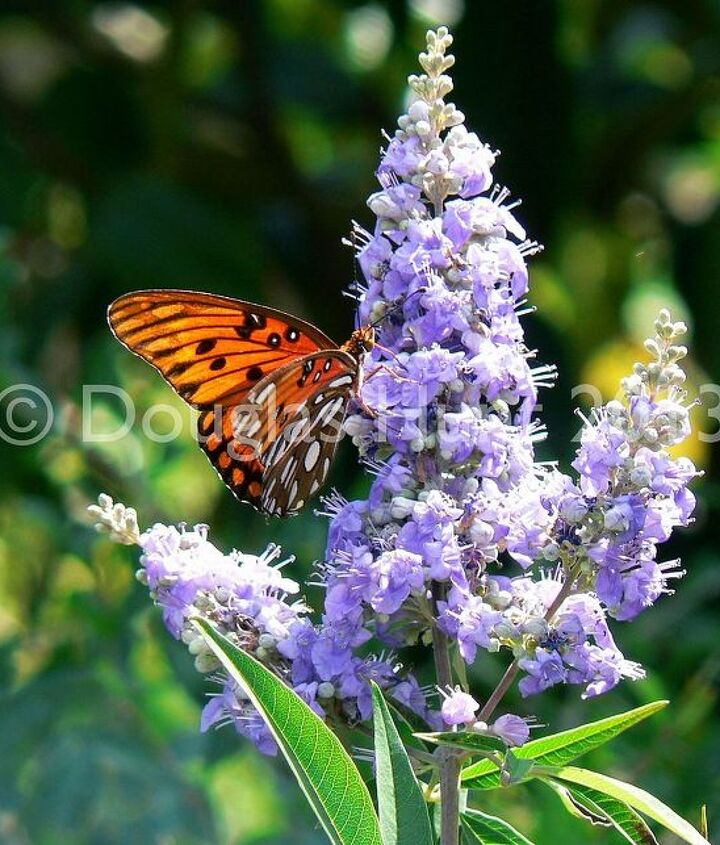 A gulf fritllary butterfly (Agraulis vanillae) sipping nectar from a chaste tree (Vitex agnus castus), a great plant for attracting bees and butterflies.