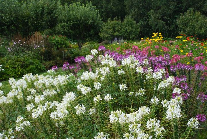 Waves of white, purple and pink Cleome in front of a row of zinnias.