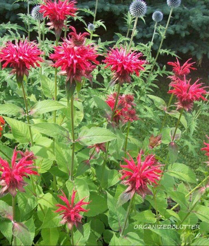 Favorite perennials:  Gardenview Scarlet Monarda.