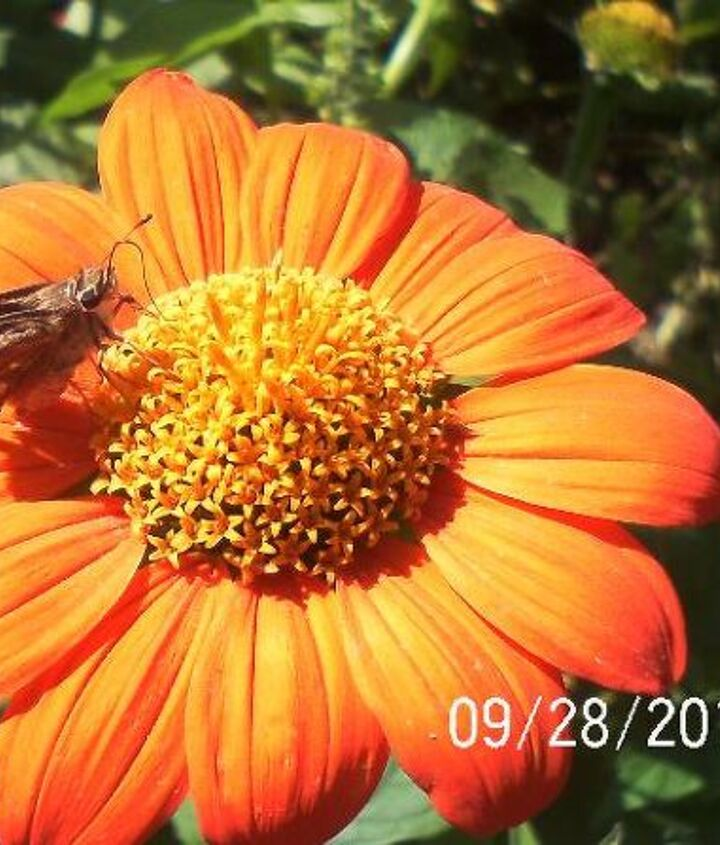 made my day butterflies and bee s still lingering about a monarch, gardening, pets animals