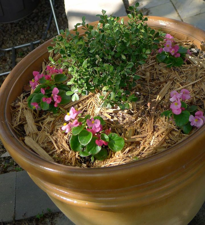 Wax begonias under planting boxwoods in patio pots.