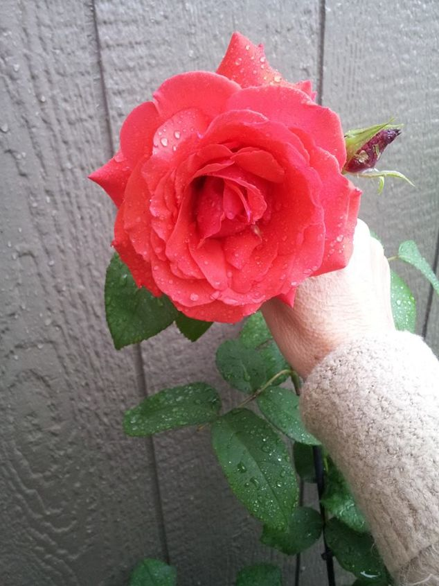 roses growing beautiful with coffee grounds, gardening, homesteading