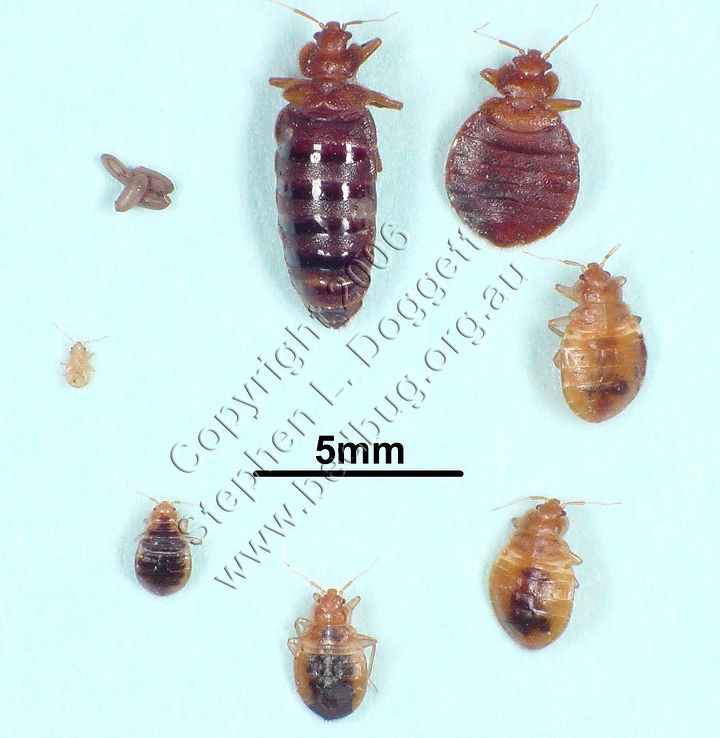 common bed bug life cycle