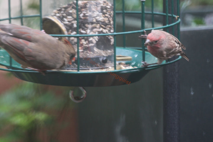 I featured this image of Cam (mingling with a house finch at my feeder) on Cornell's FB Page.