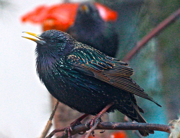 3 16 european starlings anniversary thanks a lot mr schieffelin, gardening, pets animals, seasonal holiday d cor
