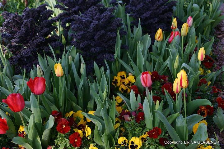 edible and ornamental, gardening, Kale Redbor tulips and pansies