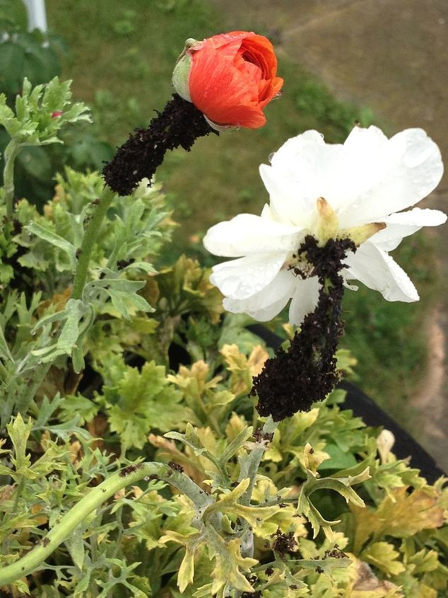 why are ants depositing dirt around the top of my ranunculus, gardening, pest control