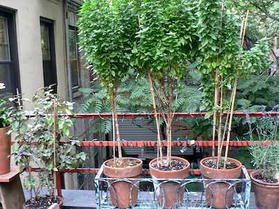 """In addition to these basil triplets, I often plant """"things"""" in threes @ http://www.thelastleafgardener.com/2011/05/monday-morning-musings-challenging.html"""