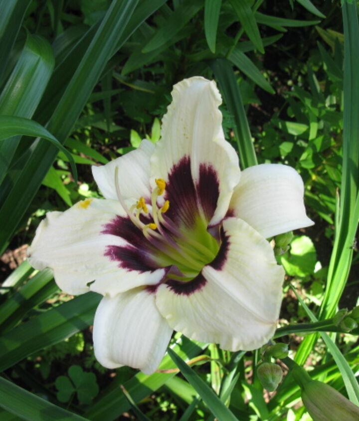 day lilies, gardening