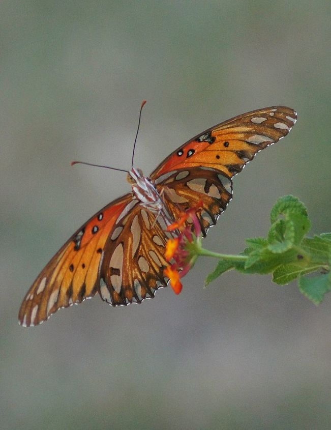 butterfly amp lantana thriving in horrid oklahoma heat, flowers, gardening