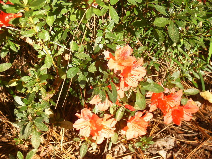q two or three of my azaleas not the ones that are supposed to bloom twice have, flowers, gardening