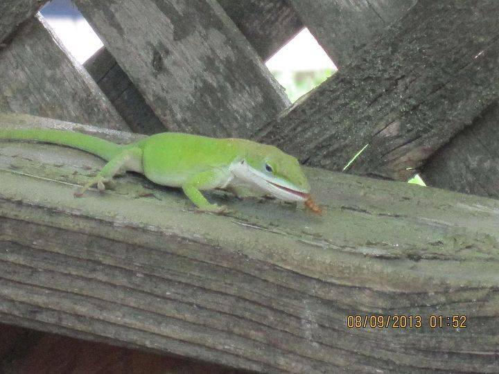 "male lizard enjoys eating yummy ""steak"" live meal worm that I feed some lizards right on my deck."