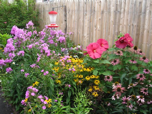 hibiscus moscheutos, flowers, gardening, hibiscus