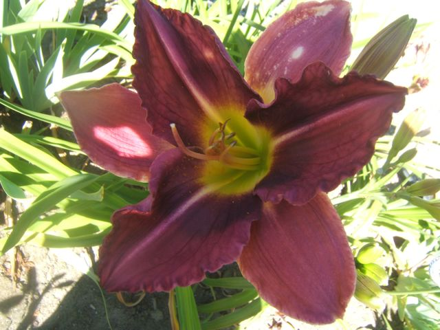 Daylily cross made at our Daylily Farm.