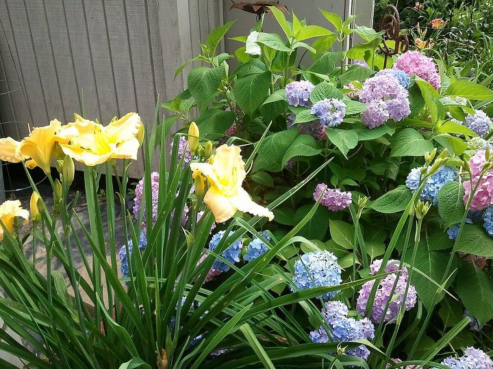 Day lilies and Endless Summer hydrangea in neutral soil