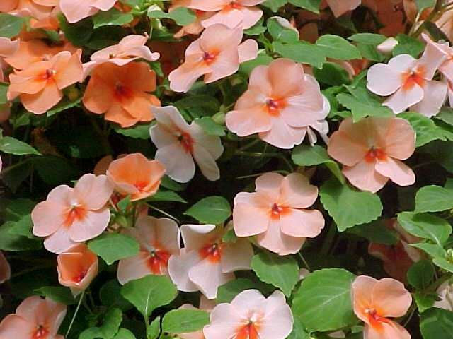 Do you share Anne Raver's dislike of the impatiens?